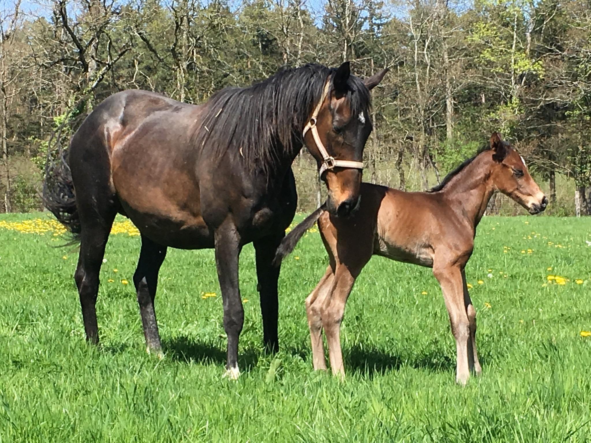 Gaspatir et mâle foal